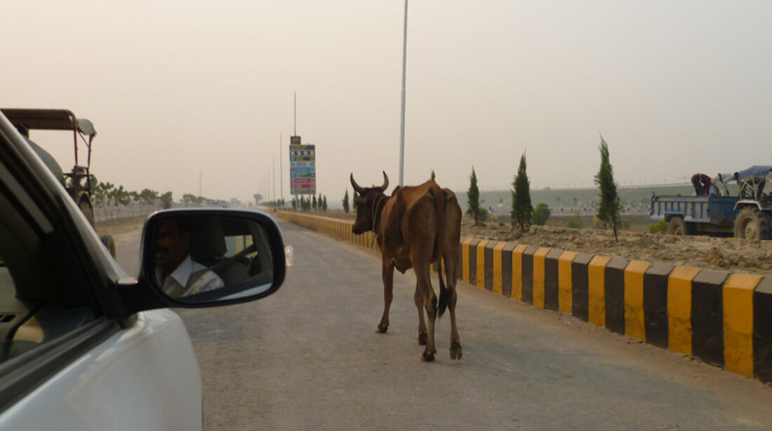 Kuh - GP Indien - 28.10.2011